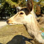Deer Gathering - Ajang Makan Bersama Para Rusa di Nara