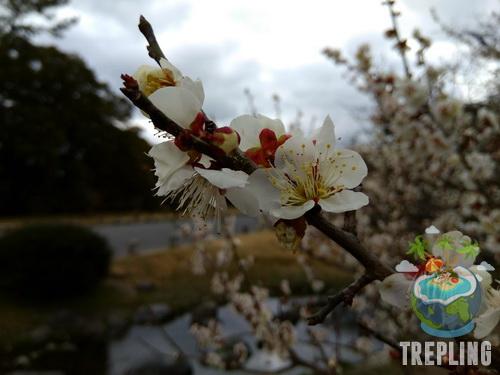 sakura atau plum